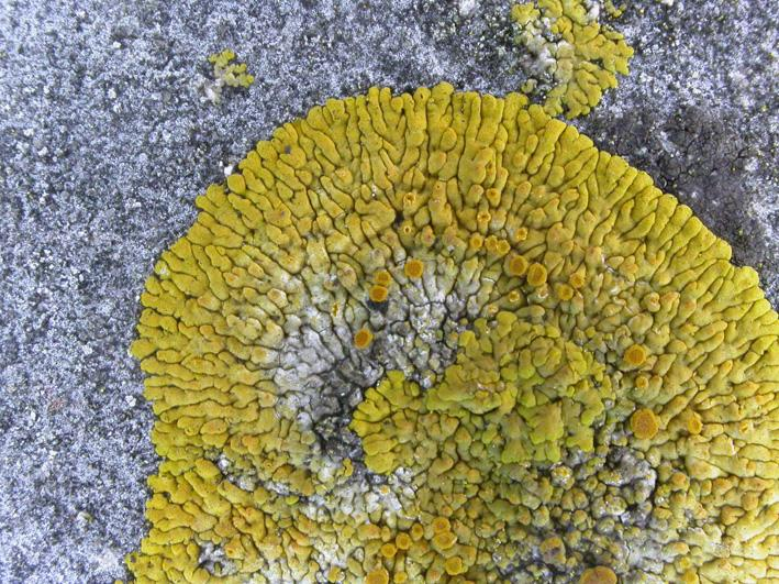 The golden crustose lichen Caloplaca flavescens on limestone