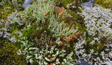 Cladonia display - © Karen Dillman